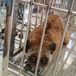 Slow loris was released back to the wild
