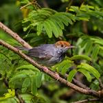 Cambodian tailorbird discovered within city limits of Phnom Penh