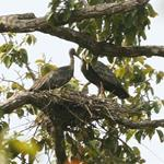Nineteen Critically Endangered Giant Ibis Nests Located in Northern Plains of Cambodia