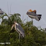 Success of Local Nest Protection Gives Hope of Worldwide Conservation of Globally Endangered Greater Adjutant