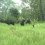 Thirty Large Mammal Species Recorded in Chhep Wildlife Sanctuary