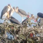 Great News for Lesser Adjutant Conservation in the Northern Plains of Cambodia