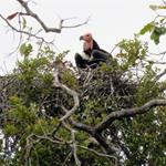 Three Critically Endangered Red-headed Vulture Nests Discovered in Chhep Wildlife Sanctuary