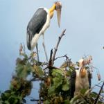 Over 120 Nests of Globally Vulnerable Lesser Adjutant Stork Located in Northern Plains of Cambodia