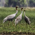 Sarus Cranes return to the Northern Tonle Sap Protected Landscape