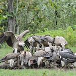Poison Puts Cambodia's Vultures at High Risk