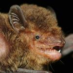New bat species named from Seima Protection Forest
