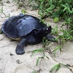 The fight against the sand mining brings hope for Royal Turtles!