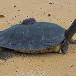 Critically Endangered Royal Turtles on the road to recovery!