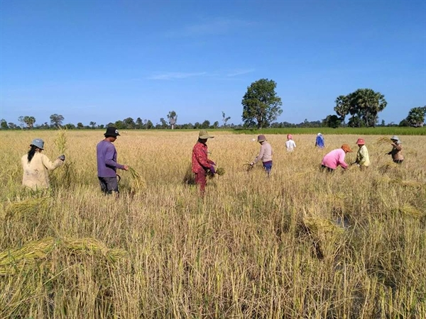 Sustainable Rice Platform Kompong Thom Trial Begins Second Year