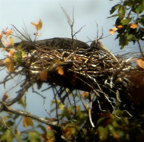 Giant Ibis Nests located early in the Northern Plains