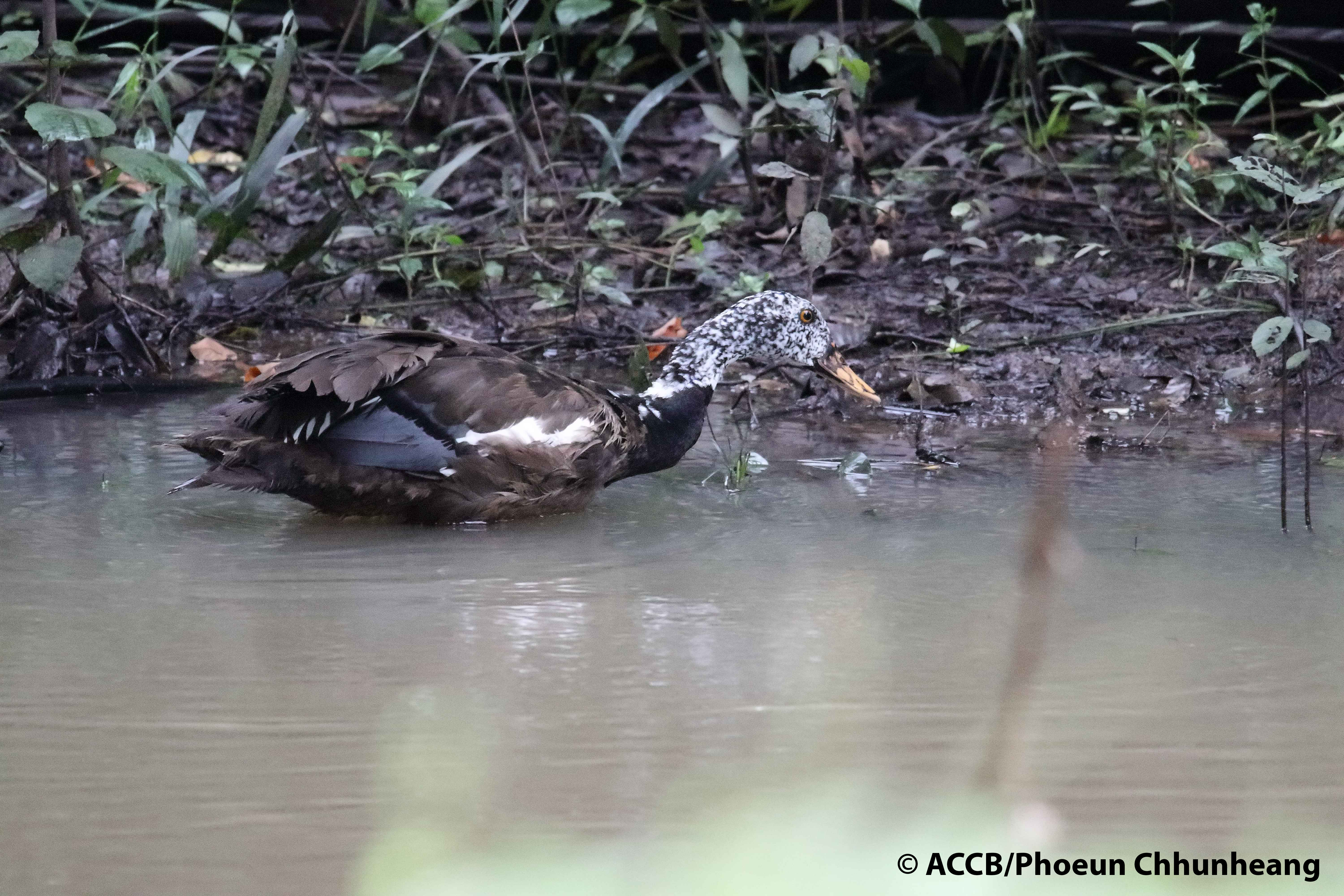 White-winged duck released back to the wild in Kulen Promtep Wildlife Sanctuary, Northern Plains Landscape (Preah Vihear province)