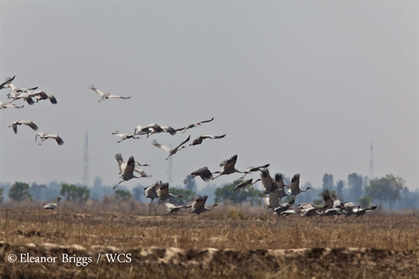 Over One Hundred Sarus Cranes Return to Ang Trapeang Thmor Protected Landscape