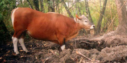 Wild Cattle in the Seima Protection Forest